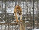 b_150_100_16777215_00_images_zagruzki_kartinki-dlya-novostej_tigr.JPG